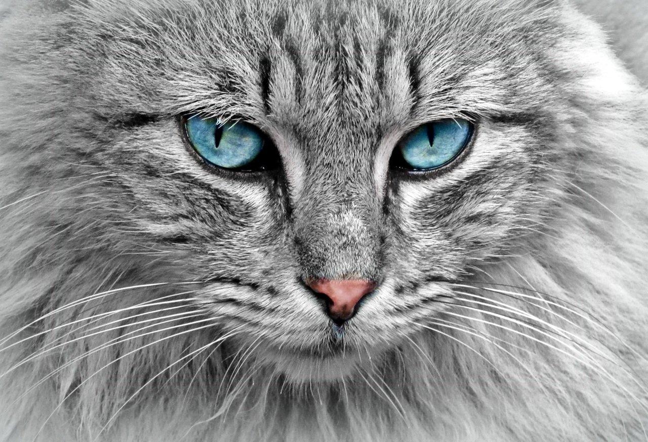 how do cats contract feline leukemia